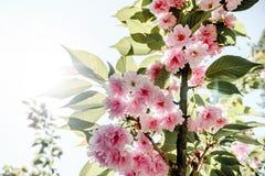 Young pink sakura fresh flowers in the garden. Japanese beautiful sakura flower  in april garden Stock Images