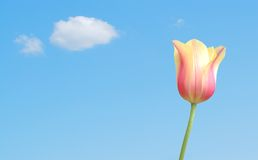 A young pink tulip. Against blue sky Royalty Free Stock Image