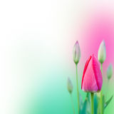 Young Pink Tulips Stock Image
