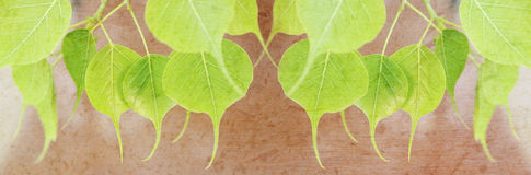 Free Young Pipal Green Leaves With Mulberry Paper Texture For Title Bar. Stock Photography - 74650122
