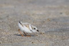 Foraging Baby Piping Plover stock photography