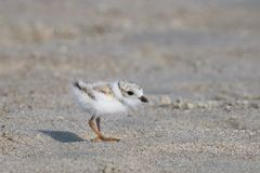 Baby Piping Plover stock photo