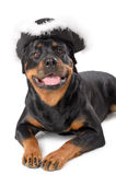 Young pirate Rottweiler Stock Images