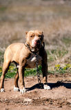Pit bull guard Royalty Free Stock Photo