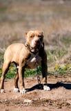 Pit bull guard Royalty Free Stock Photo