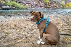 Young pit bull terrier dog in no pull harness. On the river shore stock photos