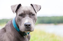 Young pitbull with blue collar portrait stock image