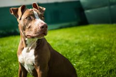 Young pitbull Staffordshire Bull Terrier in garden sits on grass with floppy ears background. Copy space royalty free stock image