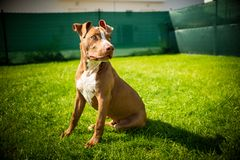 Young pitbull Staffordshire Bull Terrier in garden sits on grass with floppy ears background. Copy space stock photography
