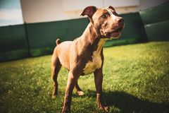 Young pitbull Staffordshire Bull Terrier in garden stands on grass with floppy ears background. Young pitbull Staffordshire Bull Terrier in garden stands on stock image