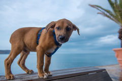 Young pitbull terrier. Standing on the bench close to the sea Royalty Free Stock Photos