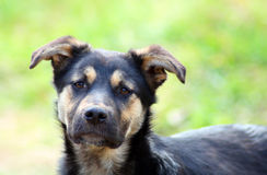 Young pitiful stray dog Royalty Free Stock Images