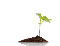 Young plant Royalty Free Stock Image