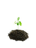 Young plant. On white background royalty free stock photos