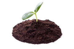 Young plant. On a white background Stock Photos