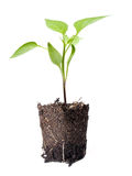 Young plant. Of future crops on a white background Stock Image
