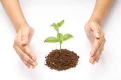 Young plant. Hands protecting a baby plant  on white background Stock Images