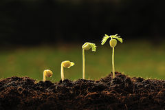Young plant Royalty Free Stock Photography