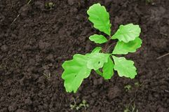 Young plant. Of a oak Royalty Free Stock Photo