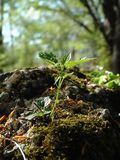Young plant. Focus on plant, mossy ground stock image