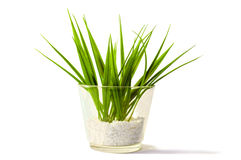 Young plant. A young green plant in a glass vase and isolated on a white background Royalty Free Stock Photography