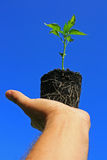 Young plant. A young pepper plant being held in the palm of the hand showing its roots visible through its growing medium, set against a bright clear blue sky stock images
