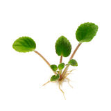 Young plant Royalty Free Stock Photo