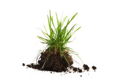 Young plant. With roots and the earth on a white background Royalty Free Stock Photo