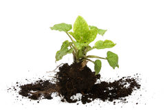 Young plant. With roots and the earth on a white background Royalty Free Stock Photos