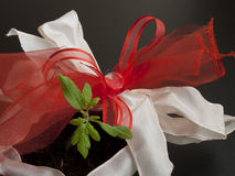 Young plant as gift Royalty Free Stock Photo