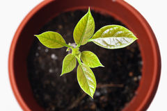 Young plant avocado in a pot Royalty Free Stock Photos