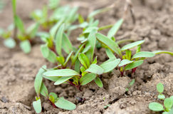Young plant beet Stock Image