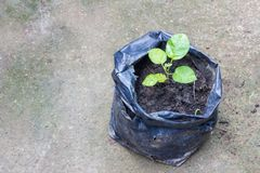 Young plant in the black plastic bag on ground Royalty Free Stock Image