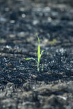 Young plant on burned field. Young tiny green plant on burned field Stock Image