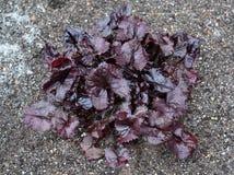 Young plant buzulnik gear (Ligularia dentata (A.Gray) of H.Hara) Stock Image