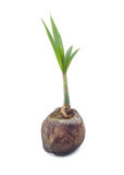 Young plant of coconut tree Royalty Free Stock Image