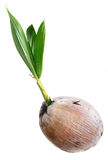 Young plant of coconut tree isolated Royalty Free Stock Image
