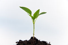Young plant cuttings, against the blue sky Stock Images