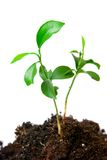 Young plant with dirt Royalty Free Stock Photography