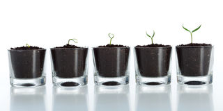 Young plant evolution - growth. Of spring seedling on white background Royalty Free Stock Images