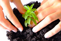 Young Plant Farming. Hands growing and taking care for a young plant Royalty Free Stock Images