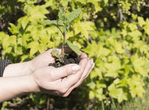 Young plant in female hands. The concept of new life.  Royalty Free Stock Image