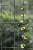 A young plant on a fence Stock Photo