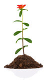 Young plant with flower in soil Royalty Free Stock Photos