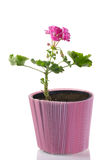 Young plant of geranium in a pot – scion Royalty Free Stock Images