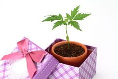 Young plant in a gift box Royalty Free Stock Images