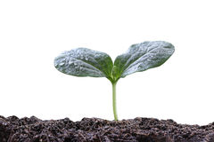 young plant or green seedling on soil isolated on white backgrou Royalty Free Stock Photography