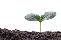 young plant or green seedling on soil isolated on white backgrou Royalty Free Stock Images