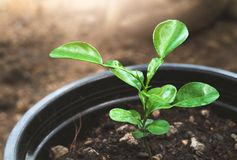 Young plant growing in the pot Stock Image