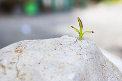 A young plant growing on the rock Royalty Free Stock Photography